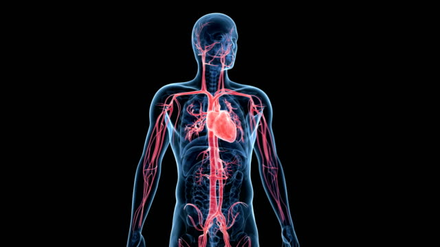 human heart beating - artery stock videos & royalty-free footage