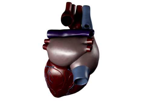 human heart for medical study - left auricle stock videos and b-roll footage