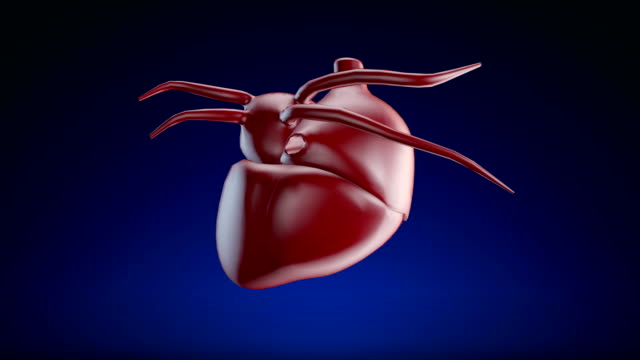 human heart - loopable (alpha channel) - 4k - anatomy stock videos & royalty-free footage
