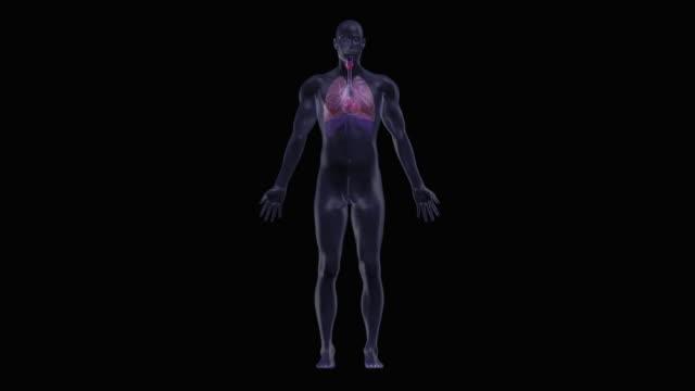 human heart - människolunga bildbanksvideor och videomaterial från bakom kulisserna