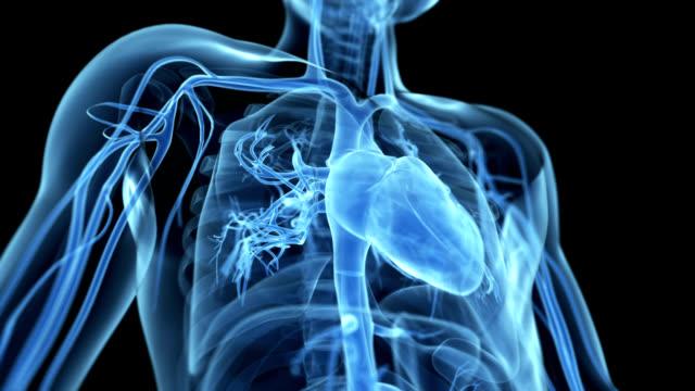 human heart - sistema cardiovascolare video stock e b–roll