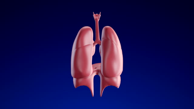 human lungs - loopable (alpha channel) - 4k - respiratory system stock videos & royalty-free footage