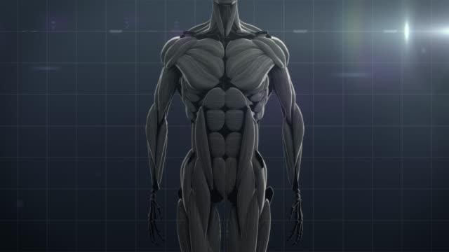 human muscle - biomedizinische illustration stock-videos und b-roll-filmmaterial