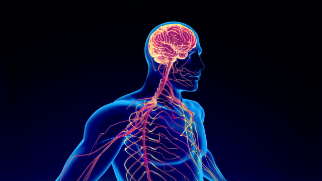 human nervous system - anatomy stock videos & royalty-free footage
