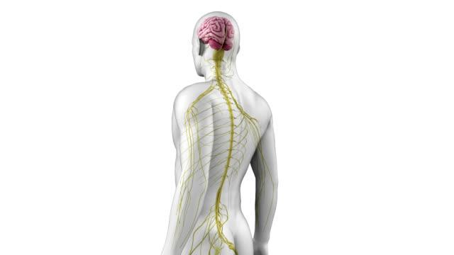 vídeos de stock, filmes e b-roll de human nervous system - telencéfalo