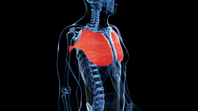 human pectoral muscles - human muscle stock videos & royalty-free footage