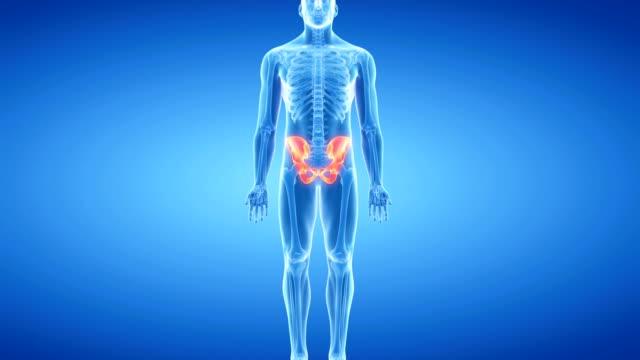 human pelvis - knochen im beckenbereich stock-videos und b-roll-filmmaterial