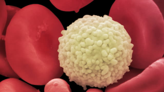 Human red and white blood cells, animated coloured scanning electron micrograph (SEM)