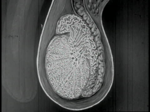 stockvideo's en b-roll-footage met human reproduction educational - 7 of 14 - image