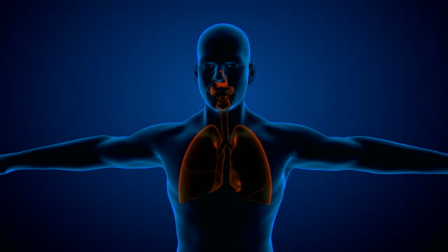 human respiratory system lungs - bronchiole stock videos & royalty-free footage