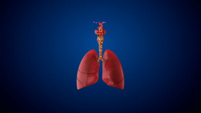 human respiratory system lungs - thyroid gland stock videos & royalty-free footage