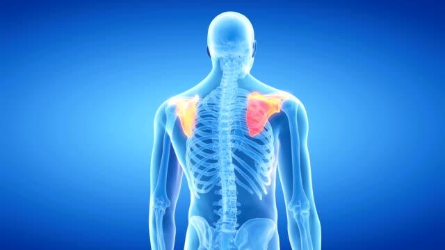 human shoulder bone - menschliches gelenk stock-videos und b-roll-filmmaterial