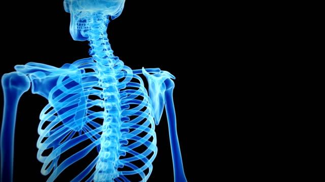 Human shoulder bones