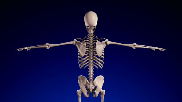 human skeleton - loopable (alpha channel) - 4k - human muscle stock videos & royalty-free footage