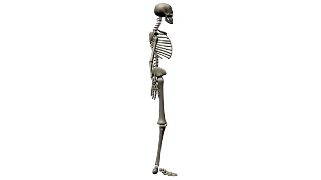 Human skeleton of a man for study