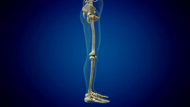 vídeos de stock, filmes e b-roll de membros inferiores do sistema esqueleto humano - osso
