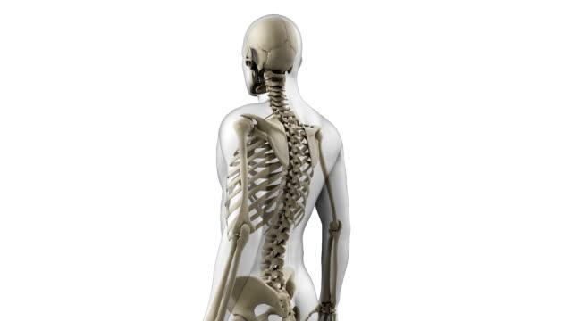 human skeleton - biomedizinische illustration stock-videos und b-roll-filmmaterial