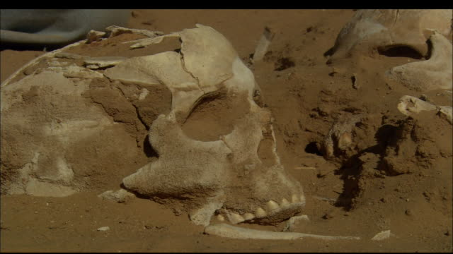 A human skull lies near other human bones at an archaeological dig. Available in HD.