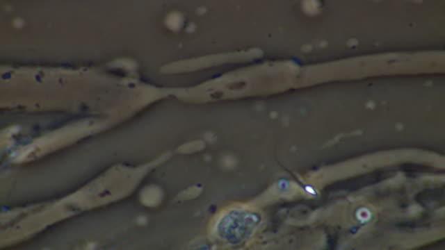 human sperm, single sperm swimming - cell flagellum stock videos and b-roll footage