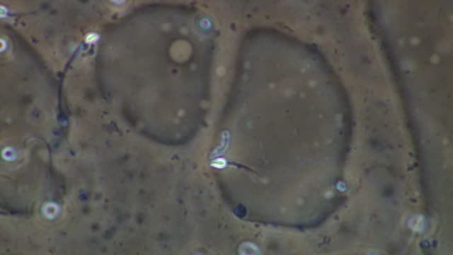 human sperm swimming, close up, phase contrast - cell flagellum stock videos and b-roll footage