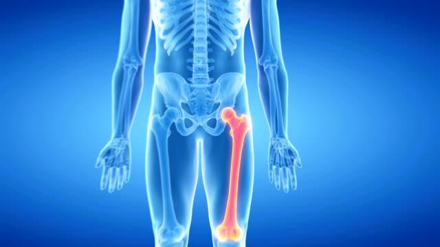 Human thigh bone