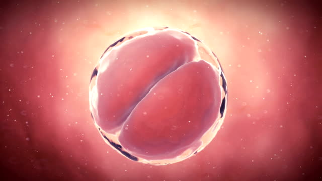 Human two-cell embryo