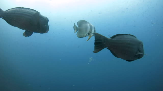 vídeos de stock, filmes e b-roll de nadar com peixe papagaio humbhead - teste de coloração