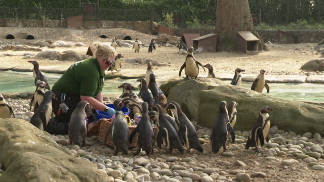 humboldt penguin at easter treats hunt at zsl london zoo on april 18, 2019 in london, united kingdom. - zoo stock videos & royalty-free footage
