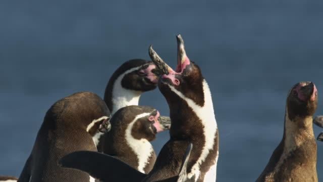 humboldt penguin calling to attract mates / punta san juan, peru, south america - animal mouth stock videos & royalty-free footage
