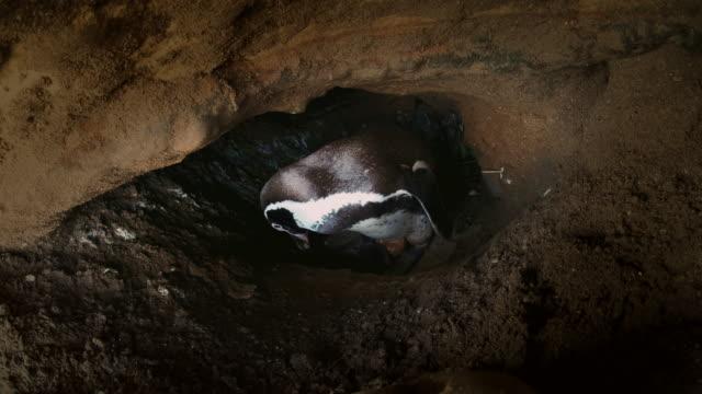 vídeos de stock e filmes b-roll de humboldt penguin caring its baby inside a cave / punta san juan, peru, south america - criação animal