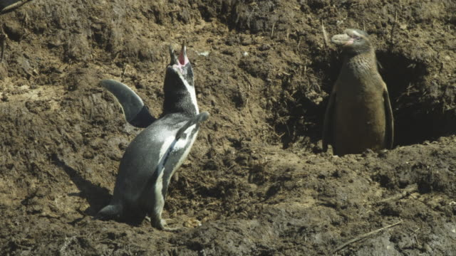 humboldt penguin displays in nesting colony watched by penguin in burrow - animal call stock videos & royalty-free footage