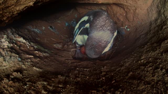 vídeos de stock e filmes b-roll de humboldt penguin incubating eggs inside a cave / punta san juan, peru, south america - criação animal