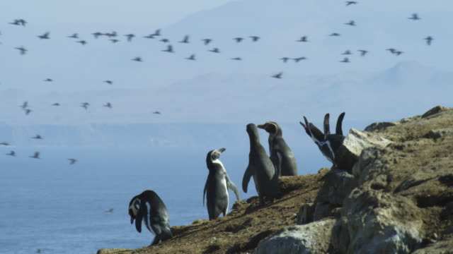 stockvideo's en b-roll-footage met humboldt penguins call and look around with guanay cormorants flying in background - colony