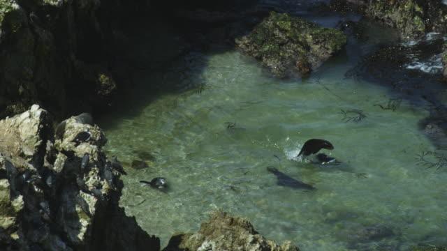 vídeos de stock e filmes b-roll de ha ms pan humboldt penguins chased in water by south american fur seal - grupo médio de animais