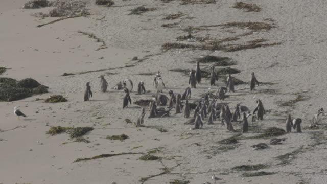vidéos et rushes de humboldt penguins on the beach - oiseau qui ne vole pas