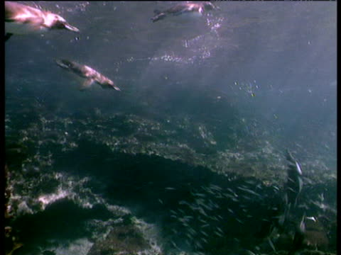 Humboldt penguins swimming after and catching fish shoal