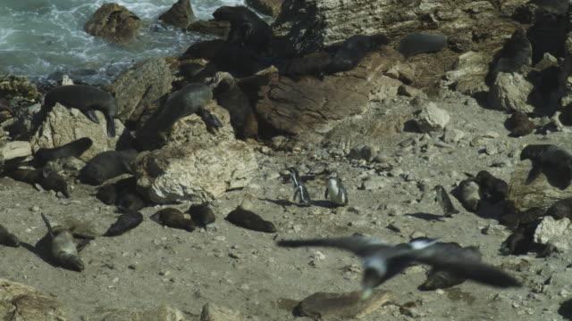 vidéos et rushes de ha ws pan humboldt penguins walking through south american fur seal colony to shore - otarie à fourrure