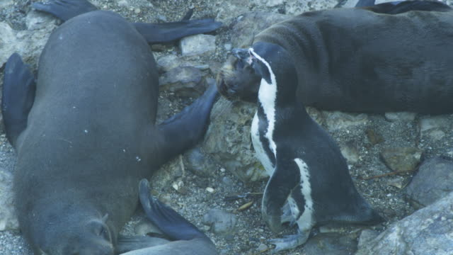 ha ms pan humboldt penguins walking through south american fur seal colony - foca video stock e b–roll