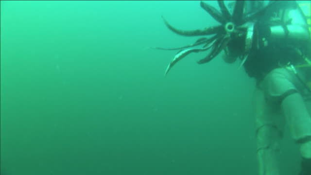 a humboldt squid squirts ink at a scuba diver as they struggle underwater. - squid stock videos & royalty-free footage