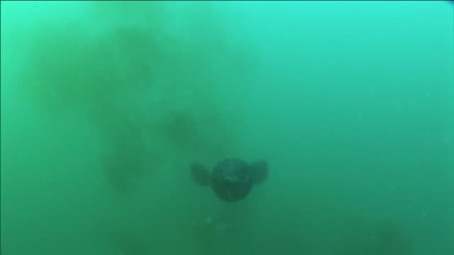 a humboldt squid swims in the ocean, waving its tentacles. - tentacle stock videos & royalty-free footage