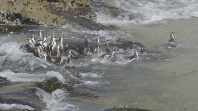 vidéos et rushes de humbolt penguins on the shore and in the tide - oiseau qui ne vole pas