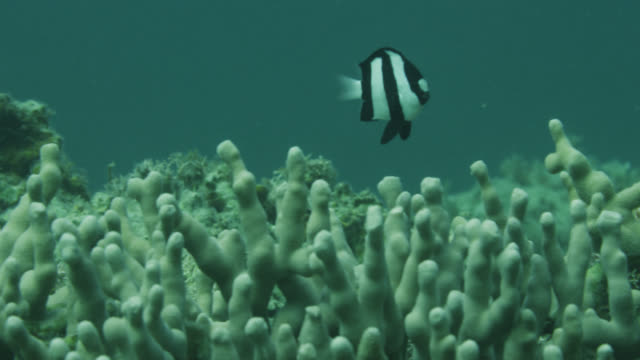 Humbug dascyllus (Dascyllus aruanus) swims over coral. Japan.