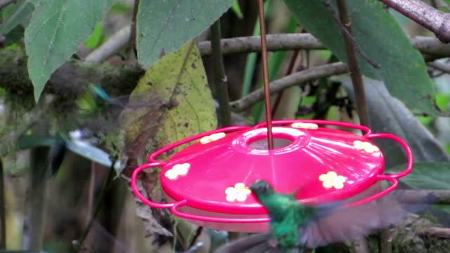 humming bird feeding and fighting - hummingbird stock videos and b-roll footage