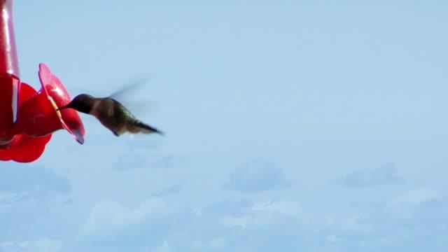 vídeos de stock e filmes b-roll de humming bird alimentação - beija flor