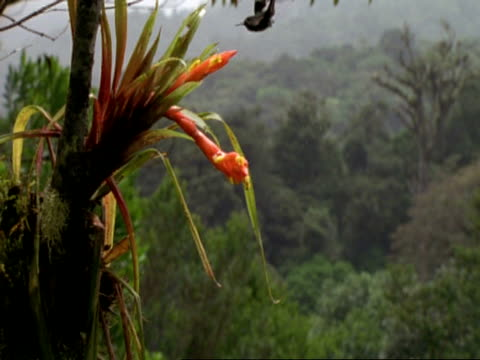 MS Humming bird flitting indecisively over epiphyte flower, Costa Rica