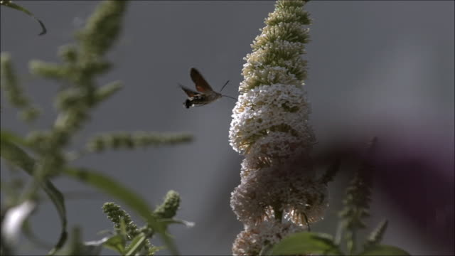 humming bird hawk moth (macroglossom stellatarum)sucking nectar, high speed - hovering stock videos & royalty-free footage
