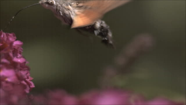 vídeos de stock e filmes b-roll de humming bird hawk moth (macroglossom stellatarum) sucking nectar, high speed - pairar