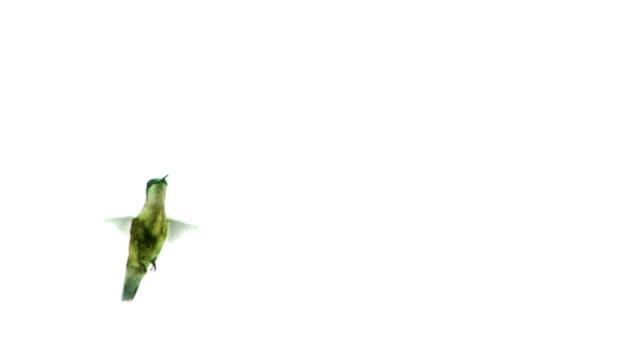 vídeos de stock e filmes b-roll de humming bird - beija flor