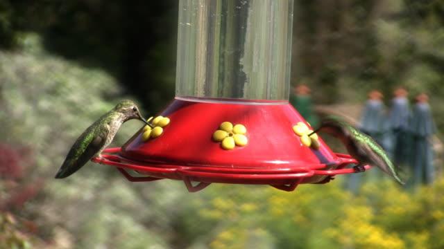 humming birds feed (hd) - hummingbird stock videos and b-roll footage