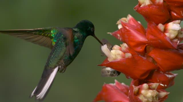 hummingbird (trochilidae) and butterflies feed from flowers in forest, ecuador - kolibri stock-videos und b-roll-filmmaterial
